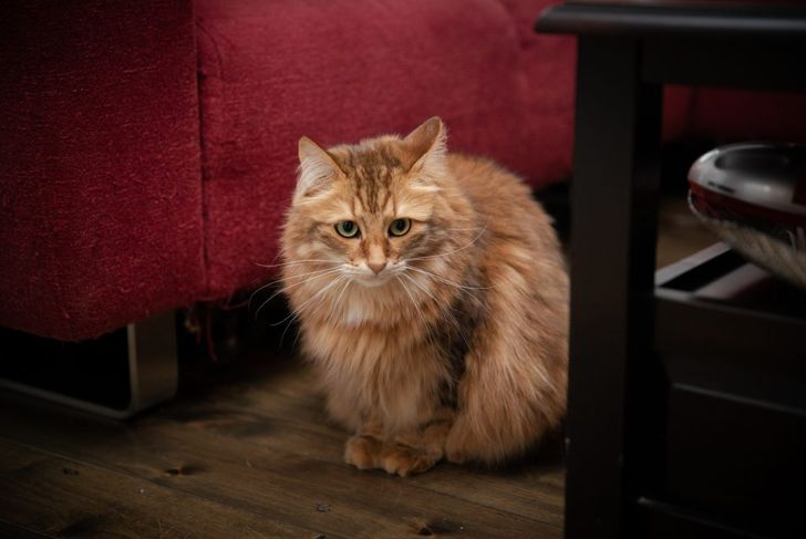 Siberian cat sitting