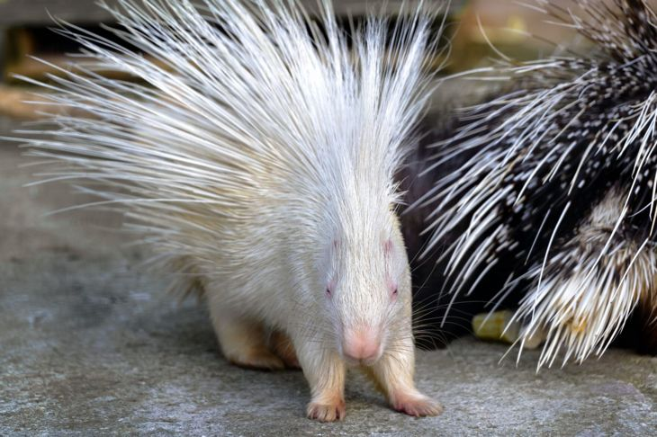 An albino porcupine next to one with traditional coloring