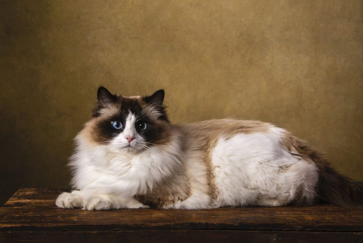 Ragdoll cat on table