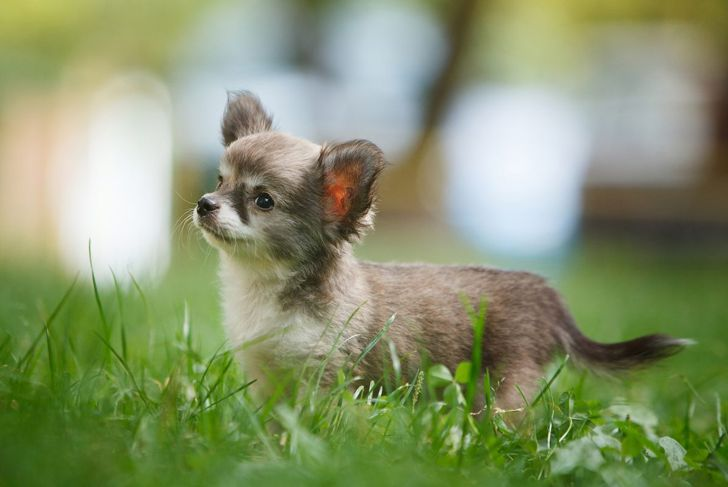 The difference between short and long-haired Chihuahuas is not so apparent when they are very young.