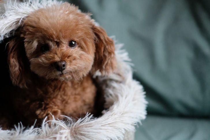 companion dogs small