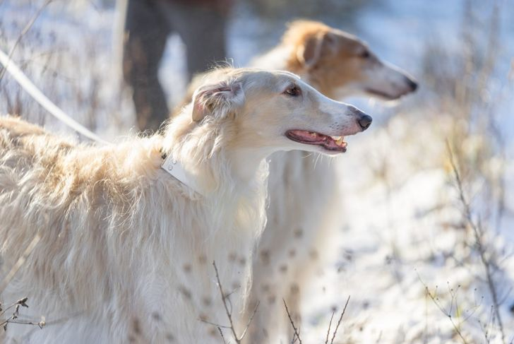 sighthound vision prey leashed