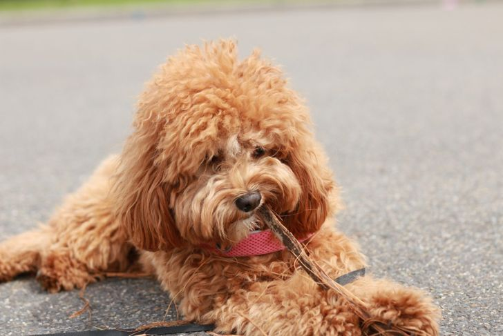 A cavapoo chewing.
