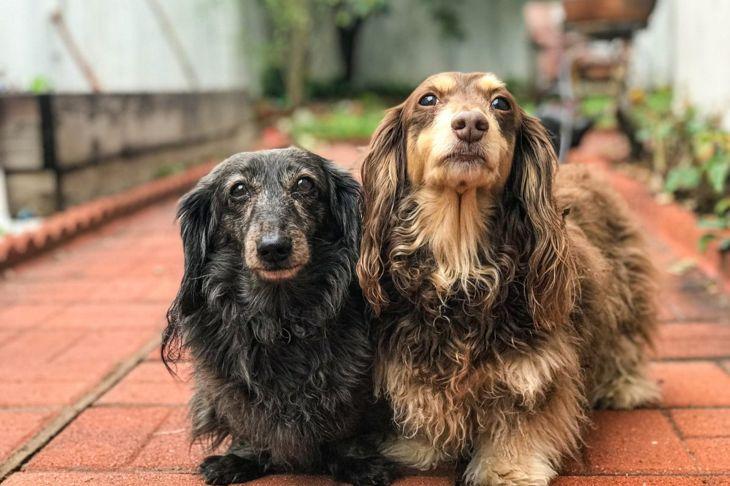 selective breeding crossbreeding longhaired dachshunds