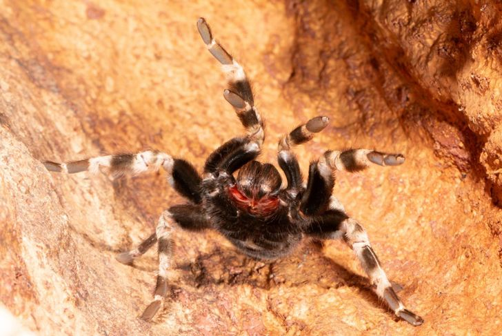 Tarantula in an attack position.