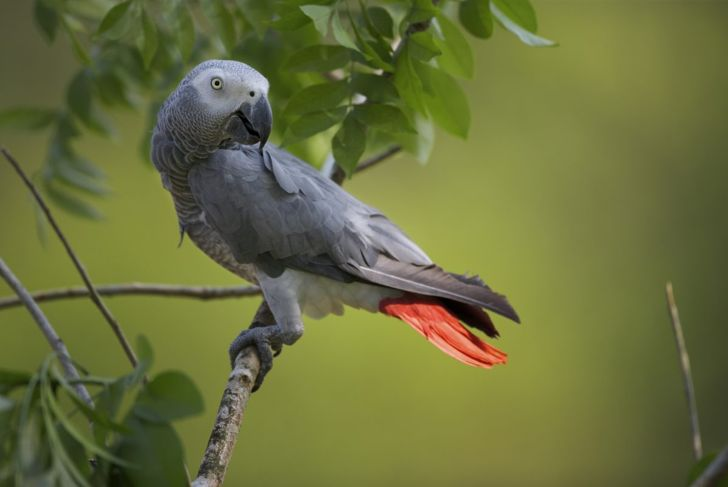 A Congo African grey parrot sitting on a tree branch