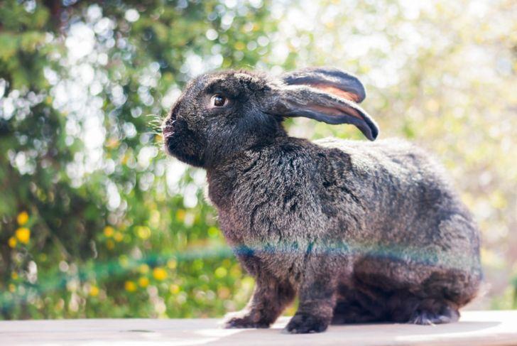 flemish giant rabbit pet