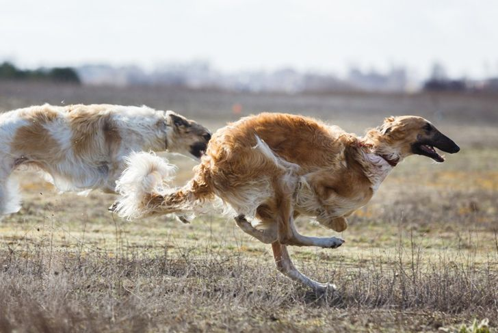 hearty breed life span borzoi