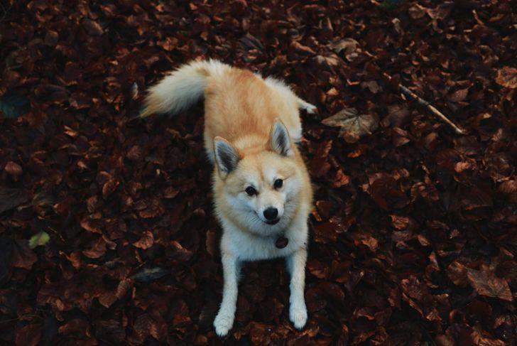 A pomsky puppy