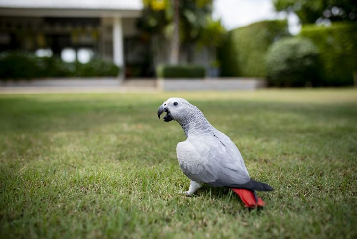An African grey foraging in grass