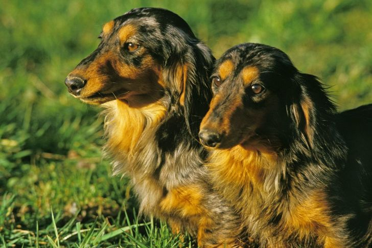 companion lifestyles adapt longhaired dachshunds