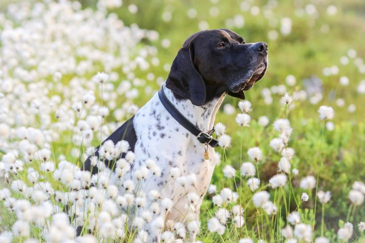 historian ancient breed english pointer