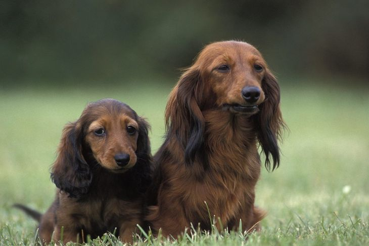standard miniature adulthood longhaired dachshunds