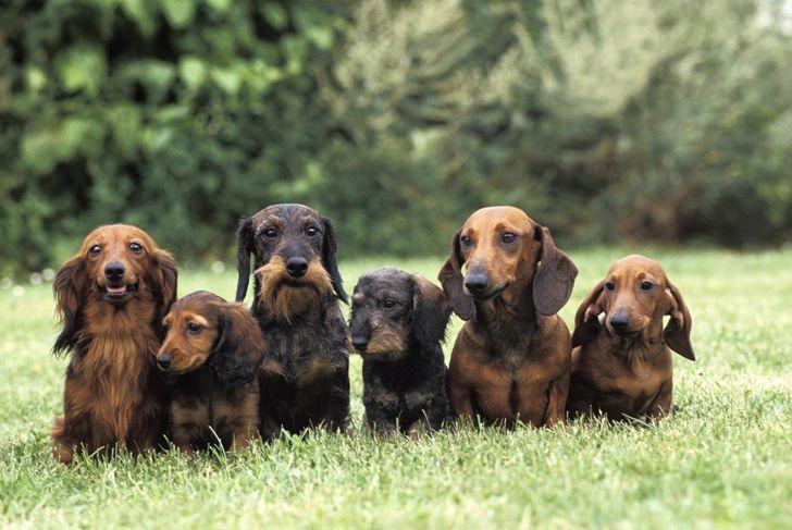 hounds hunting instincts dig coats
