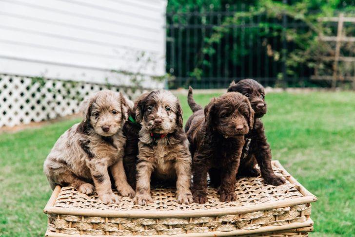 coat textures puppies