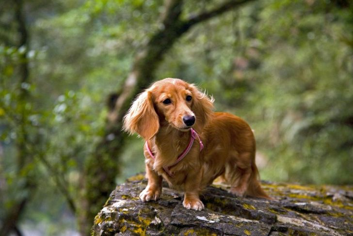 extra weight unhealthy exercise dachshund