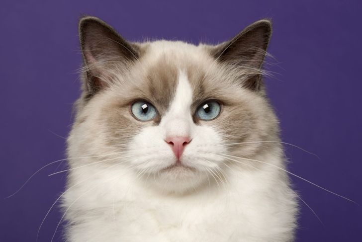 Ragdoll cat face