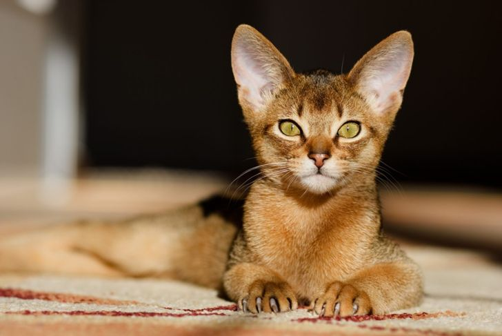 Abyssinian with claws out
