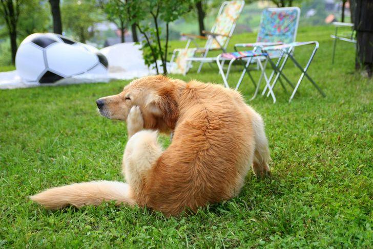 itchy dog dandruff
