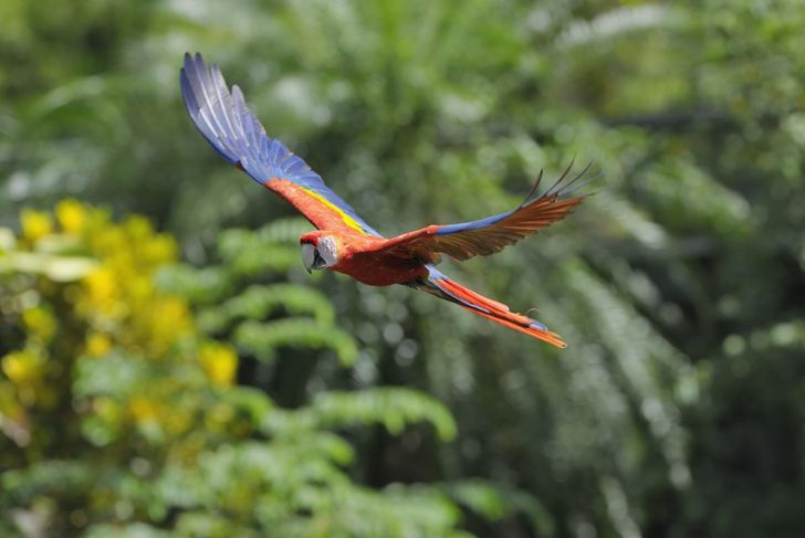 The beauty of the scarlet macaw's sky-blue wings and vivid red back is matched only by its intelligence and toughness.