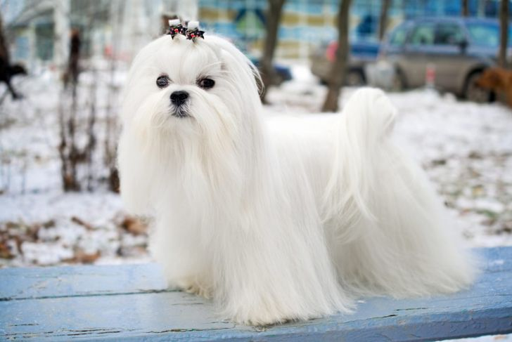 white teacup maltese with long fur