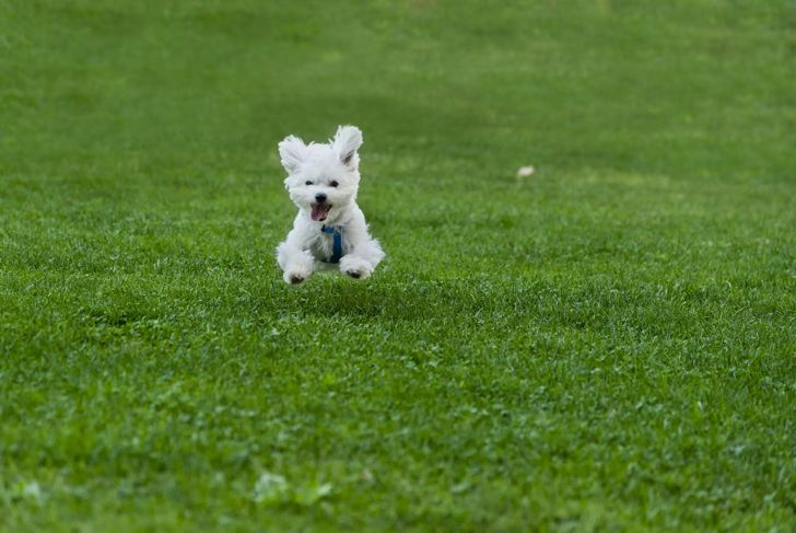teacup Maltese running in grass