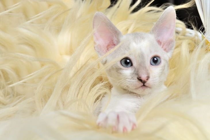 cornish rex kitten in fur