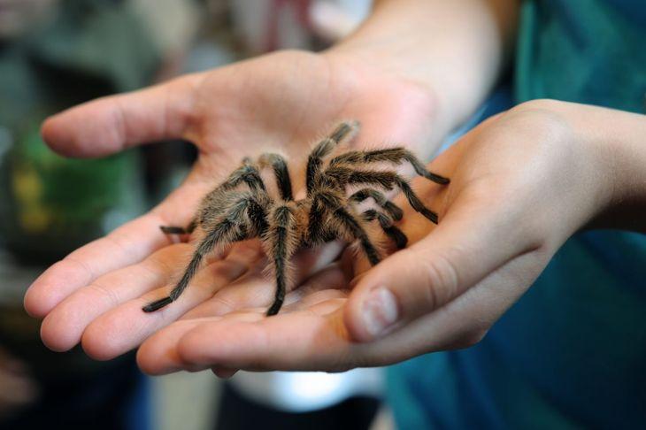 Tarantula in hands.