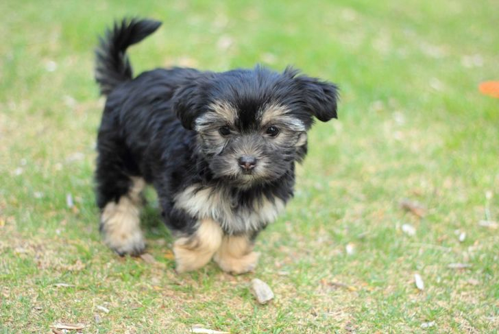 Shih Tzu Yorkie mix walking in grass