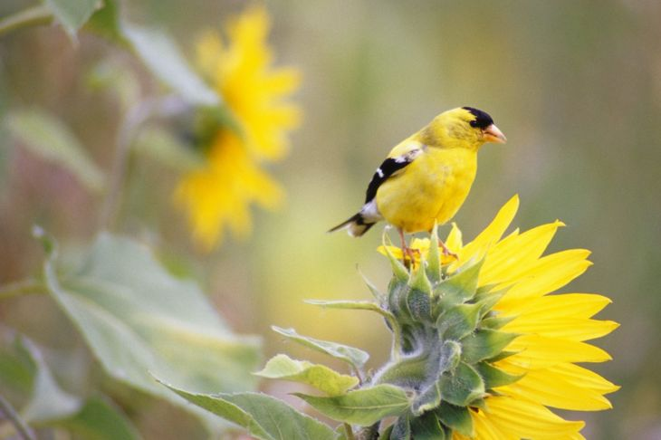 Though less amiable than other birds, the striking goldfinch always shines.