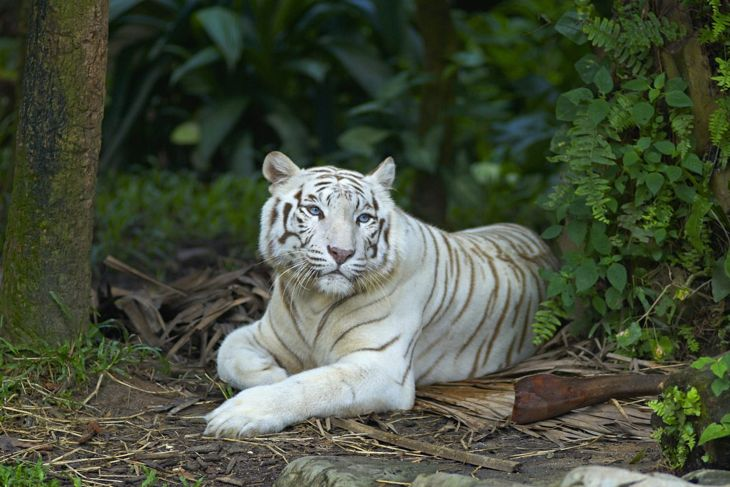 A white tiger lying in the grass