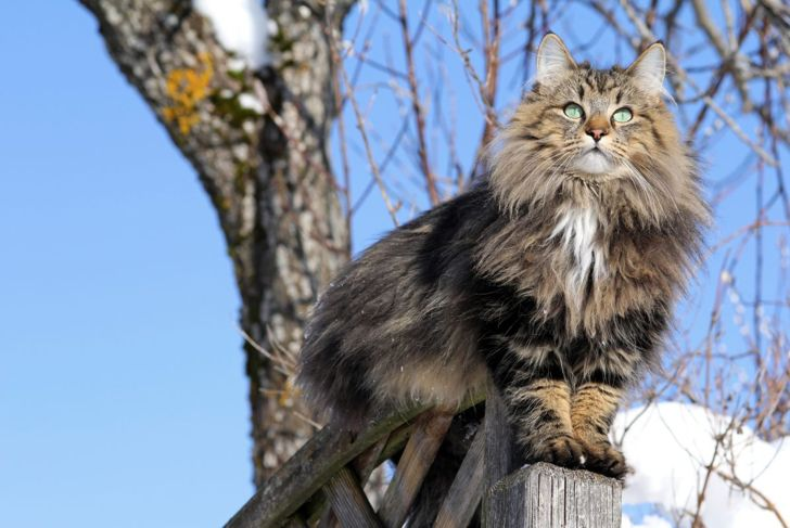 Norwegian forest cat on fence