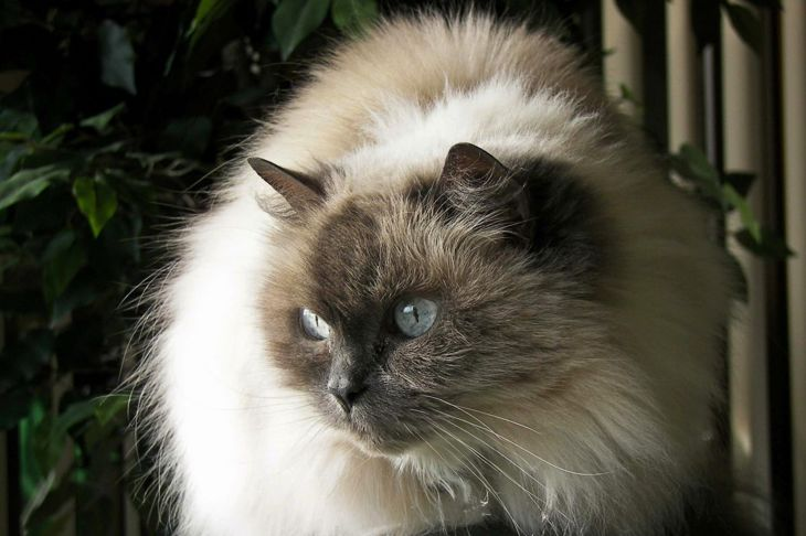Himalayan cat on furniture