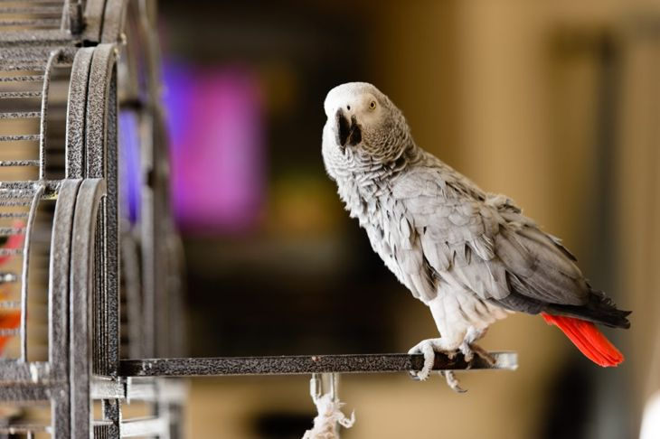 An African grey parrot perched outside its cage