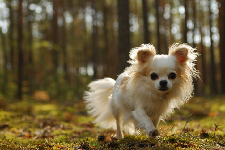 Long-haired Chihuahuas are tiny, delicate dogs.