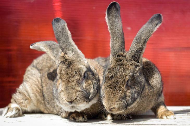 flemish giant rabbits ears