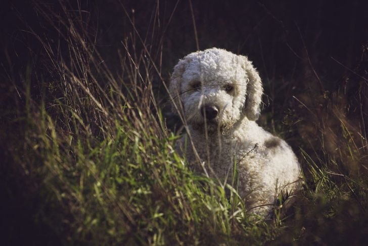 Cute Lagotto Romagnolo