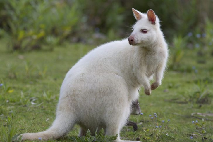 An albino wallaby with a joey in its pouch