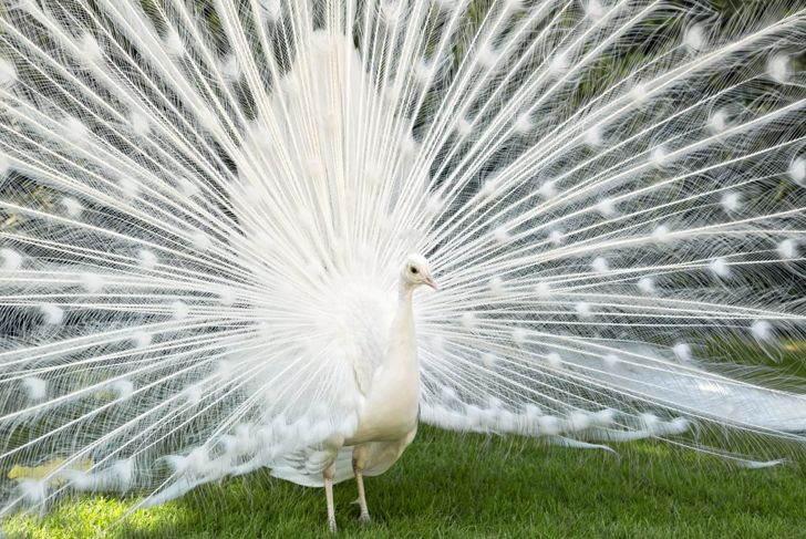 A white peacock fanning its feathers