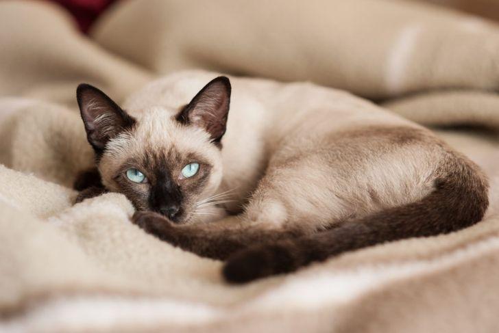 Color point cat