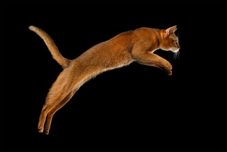 Abyssinian jumping