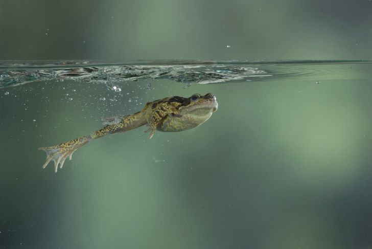 A frog swimming.