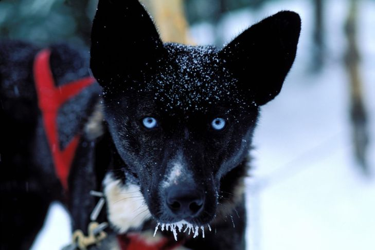 A large sled dog in the snow