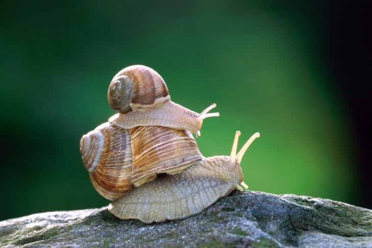 Snail riding on another snail's shell.