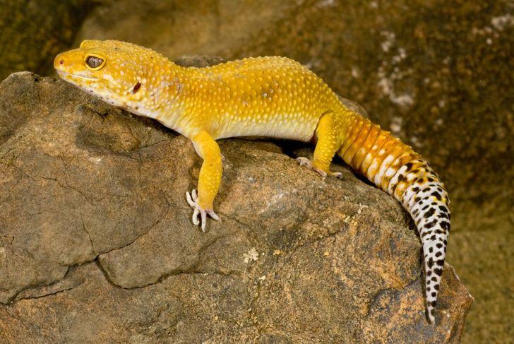 A leopard gecko in its vivarium.