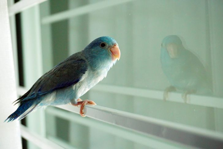 The vivacious parrotlet loves to play.