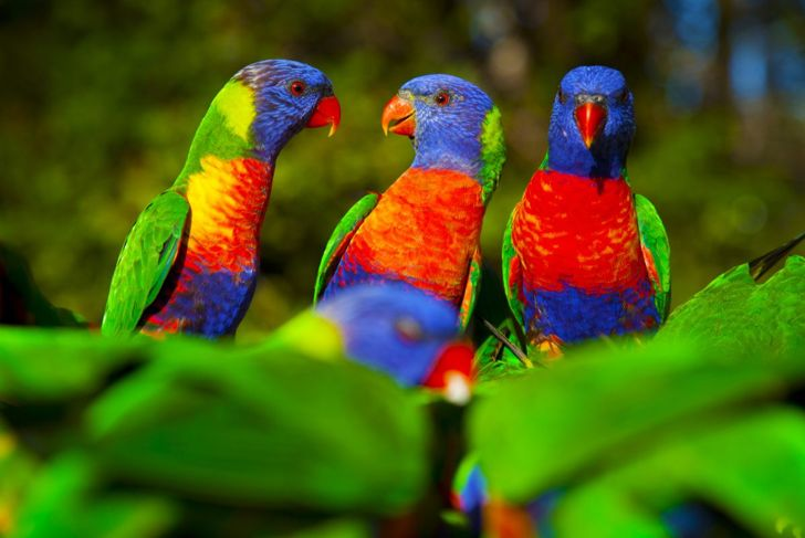 Pleasant and brilliantly colored, the rainbow lorikeet lives up to its name.