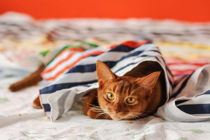 Abyssinian under blanket