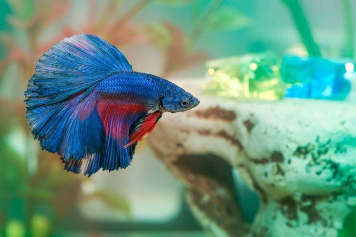 A betta fish in a tank.