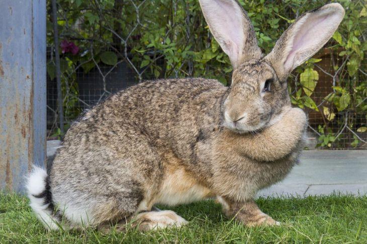flemish giant rabbit garden